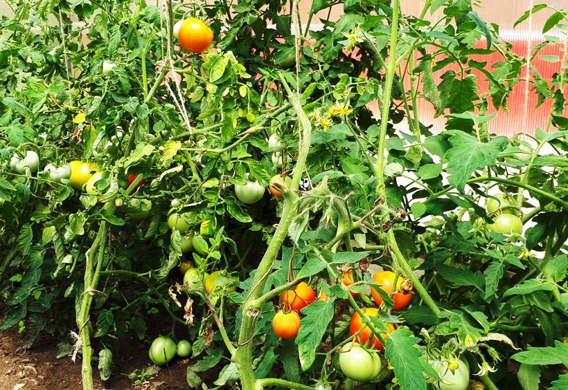 たくさん実をつけているトマト